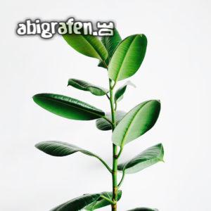 Zimmerpflanze: Gummibaum